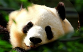 Preview wallpaper Lovely panda, face, sleep, front view