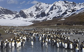 Preview wallpaper Many penguins, antarctica