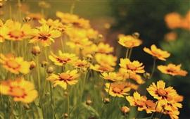 Muchas flores amarillas, naturaleza