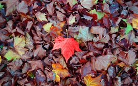 Maple leaves falling, one red leaf, autumn