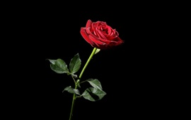 One red rose, black background