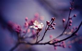 Uma flor branca flor, brotos de flores, galhos, primavera