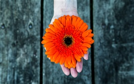 Preview wallpaper Orange gerbera flower, hand