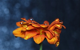 Preview wallpaper Orange petals zinnia flower close-up, water droplets