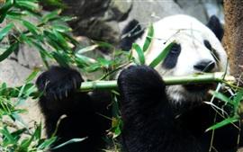Preview wallpaper Panda and bamboo