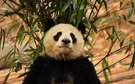 Панда, листья бамбука