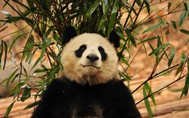 Panda, folhas de bambu