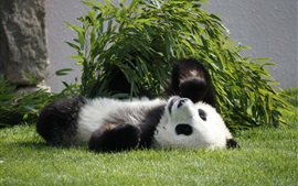Panda lie on grass