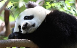 Preview wallpaper Panda rest in tree