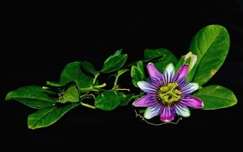 Passion flower, green leaves, black background