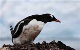 Preview wallpaper Penguin, bird, beak, stones, sky