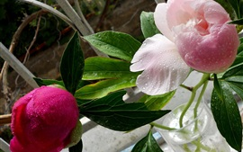 Preview wallpaper Pink peonies, green leaves, water drops