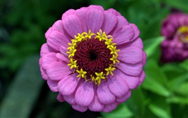 Close-up de fleur de zinnia rose