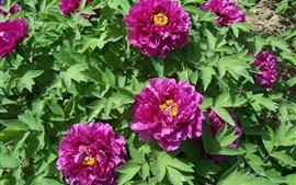 Peônias roxas, flores, folhas, luz do sol
