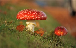 Preview wallpaper Red mushrooms, grass