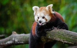 Preview wallpaper Red panda playful, tongue