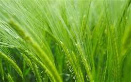 Preview wallpaper Rice field, green