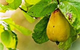 Ripe pear, water drops, leaves