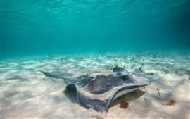 Aperçu fond d'écran Animaux marins, stingray, sous l'eau