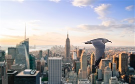 Seagull flying, New York