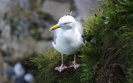 Seagull, white bird
