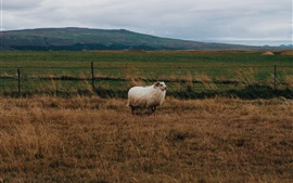 Preview wallpaper Sheep, grass, wind