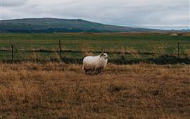 Ovelha, grama, vento