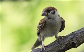 Preview wallpaper Sparrow look back, green background
