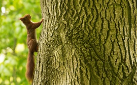 Preview wallpaper Squirrel climb tree