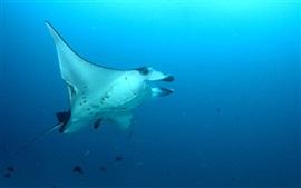 Stingray, peces de mar, bajo el agua
