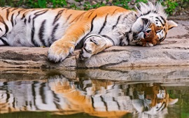 Preview wallpaper Tiger sleeping, water, stone