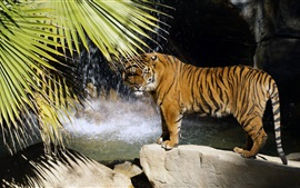 Preview wallpaper Tiger standing, stones, waterfall