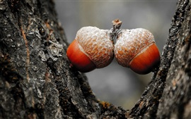 Preview wallpaper Two acorns, nut