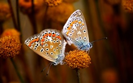Preview wallpaper Two butterflies, flower, insect