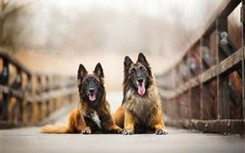 Dois cães, amigos, ponte
