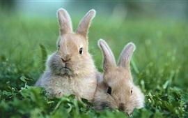 Два серых кролика, трава, боке
