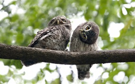 Two owls playful, tree