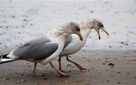 Two seagulls walk at beach