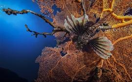 Underwater, lionfish