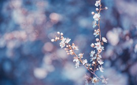 Preview wallpaper White cherry flowers bloom, twigs, blurry background