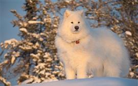 Preview wallpaper White dog, fluffy, winter, snow