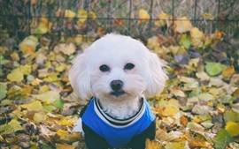 White dog front view, clothes, leaves