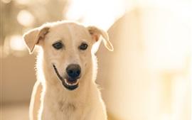 Vista frontal do cão branco, rosto, boca, brilho
