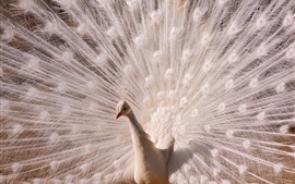 Preview wallpaper White feather peacock