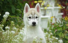 Preview wallpaper White puppy front view, flowers