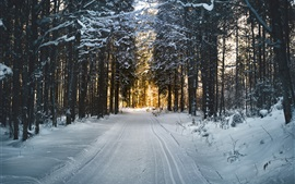Hiver, neige, arbres, forêt, lumière du soleil