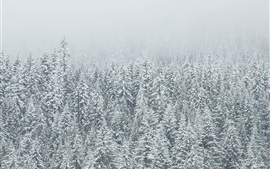 Winter, trees, spruce forest, snow
