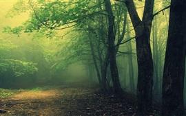 Mata, árvores, névoa, manhã