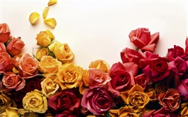 Preview wallpaper Yellow and red roses, white background