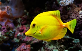Preview wallpaper Yellow fish, sea, underwater